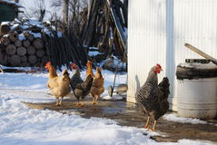 Hens in the snow Stock Photo