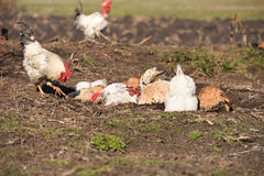 Hens taking a dust bath and a rooster walked Royalty Free Stock Image