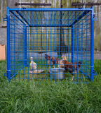 Hens trapped in too small blue cage in the village Royalty Free Stock Photo