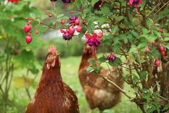 Hens. Two hens on field with flowers Stock Image