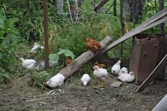 Hens in the yard of a hen house Royalty Free Stock Photography