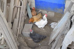 Hens in the yard of a hen house Stock Image