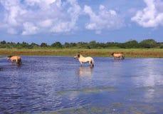 Henson hästar i marshesna Royaltyfria Bilder