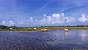 Henson hästar i marshesna Royaltyfria Foton