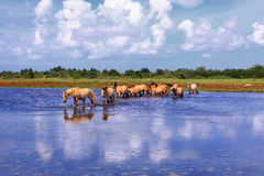 Henson hästar i marshesna i fjärder av somme Royaltyfria Foton
