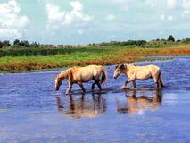 Henson hästar i marshesna i fjärder av somme Arkivbilder