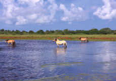 Henson horses in the marshes Royalty Free Stock Images