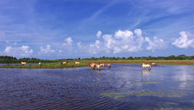 Henson horses in the marshes Royalty Free Stock Photos