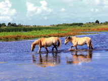 Henson horses in the marshes in bays of somme Stock Images