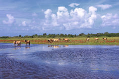 Henson horses in the marshes in bays of somme Stock Image