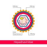 Hepadnaviridae Ταξινόμηση των ιών διανυσματική απεικόνιση