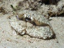 Hepatic box crab Stock Images