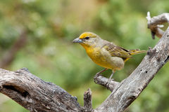 Hepatic Tanager Royalty Free Stock Photo