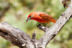 Hepatic Tanager. Adult Male Hepatic Tanager Perched in Old Tree Trunk Stock Photo
