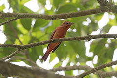 Hepatic Tanager in a tree Royalty Free Stock Photo