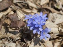 Hepatica ανθίσματος Anemone Στοκ Εικόνες