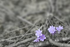 Hepatica Σημείο χρώματος λουλουδιών Στοκ Εικόνα
