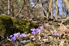 Hepatica Obrazy Stock