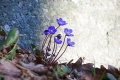Hepatica Photos stock