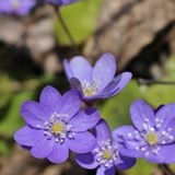 Hepatica Fotografia Royalty Free