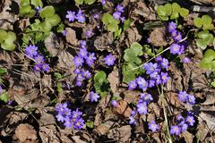 Hepatica Obrazy Royalty Free