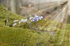 Hepatica Anemone Ανθίσεις nobilis Hepatica στο δάσος για το βρύο Φως του ήλιου Backlight Στοκ Φωτογραφία