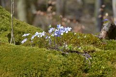 Hepatica Anemone Ανθίσεις nobilis Hepatica στο δάσος για το βρύο Στοκ Φωτογραφίες