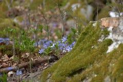 Hepatica Anemone Ανθίσεις nobilis Hepatica στο δάσος για το βρύο Στοκ Εικόνες