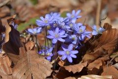 Hepatica Anemone Ανθίσεις nobilis Hepatica την άνοιξη, φύλλα οξιών Στοκ Φωτογραφίες