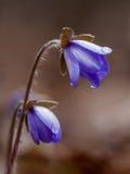 Hepatica Anemone με την πτώση Στοκ Φωτογραφία