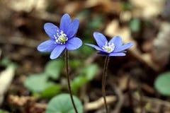 Hepatica Anemone - μπλε ομορφιά στο χρόνο άνοιξη Στοκ φωτογραφία με δικαίωμα ελεύθερης χρήσης
