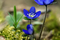Hepatica Anemone - μπλε χρόνος άνοιξη Στοκ εικόνα με δικαίωμα ελεύθερης χρήσης