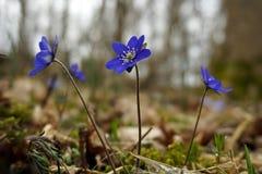 Hepatica Anemone - μπλε χρόνος άνοιξη Στοκ εικόνες με δικαίωμα ελεύθερης χρήσης