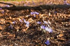 Hepatica Anemone στο δάσος την πρώιμη άνοιξη Πολωνία Στοκ εικόνα με δικαίωμα ελεύθερης χρήσης