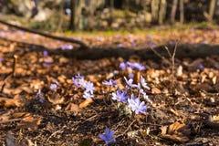 Hepatica Anemone στο δάσος την πρώιμη άνοιξη Πολωνία Στοκ φωτογραφία με δικαίωμα ελεύθερης χρήσης