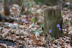 Hepatica Anemone στο δάσος Στοκ Εικόνες