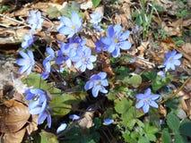 Hepatica Anemone στο δάσος Στοκ εικόνες με δικαίωμα ελεύθερης χρήσης