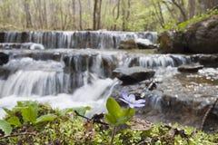 Hepatica Anemone την άνοιξη Στοκ Φωτογραφίες