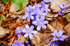 Hepatica Anemone την άνοιξη Στοκ φωτογραφία με δικαίωμα ελεύθερης χρήσης