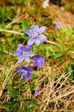Hepatica Anemone την άνοιξη Στοκ Εικόνα