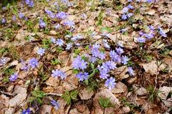 Hepatica Anemone την άνοιξη Στοκ εικόνες με δικαίωμα ελεύθερης χρήσης