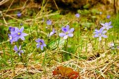 Hepatica Anemone την άνοιξη Στοκ Φωτογραφία