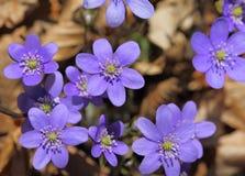 Hepatica Anemone Στοκ Εικόνες