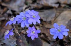 Hepatica Anemone Στοκ Φωτογραφίες