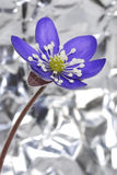 Hepatica Anemone Στοκ φωτογραφίες με δικαίωμα ελεύθερης χρήσης
