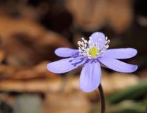 Hepatica Anemone Στοκ εικόνες με δικαίωμα ελεύθερης χρήσης