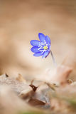 Hepatica Anemone Στοκ Φωτογραφία