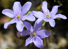Hepatica Anemone Στοκ φωτογραφία με δικαίωμα ελεύθερης χρήσης