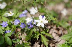 Hepatica Anemone, nemorosa anemone Στοκ εικόνες με δικαίωμα ελεύθερης χρήσης