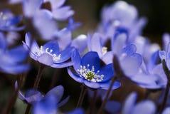 Hepatica Anemone (nobilis Hepatica) Στοκ φωτογραφία με δικαίωμα ελεύθερης χρήσης